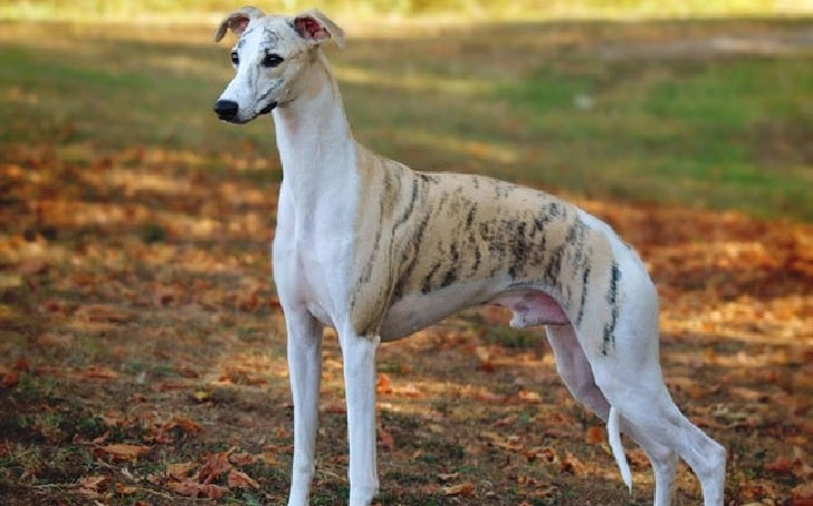 Whippet history and Behavior