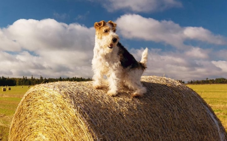 Wire Fox Terrier Is An Active Breed.