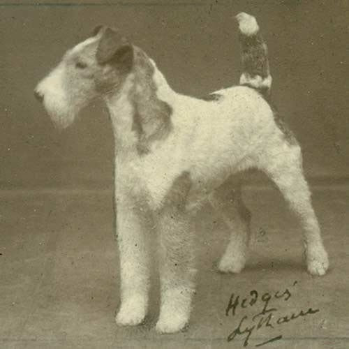 Wire Fox Terrier history