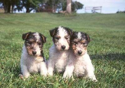 Wire Fox Terrier puppy cost