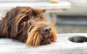 Wirehaired Pointing Griffon Is An Gun dog.