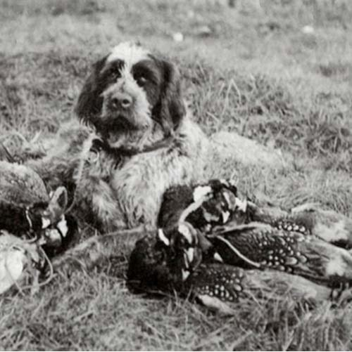 Wirehaired Pointing Griffon with its prey