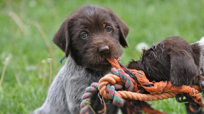 Wirehaired Pointing Griffon Puppy cost