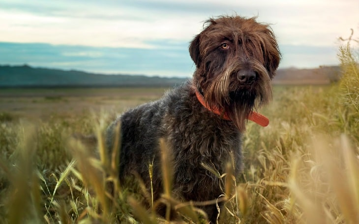 Wirehaired Pointing Griffon history adn behavior