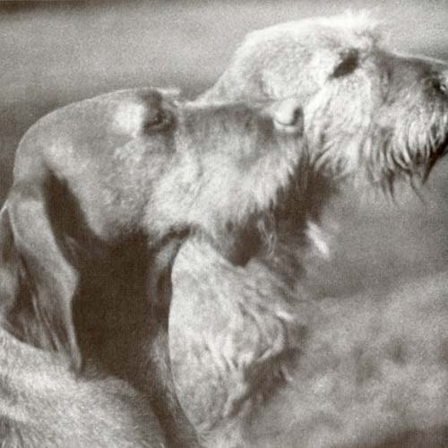 Wirehaired Vizsla History