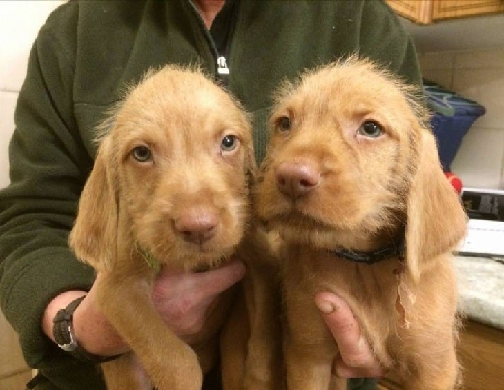 Wirehaired Vizsla puppy cost