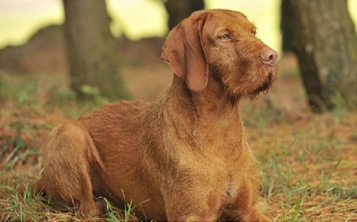 Wirehaired Vizsla history and behavior