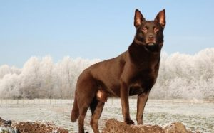 Working Kelpie history and behavior