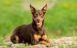 Working Kelpie temperament and personality