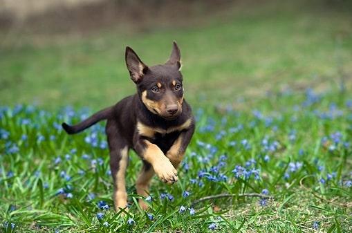 Working Kelpie Puppy cost