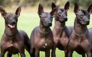 Xoloitzcuintli history and Behavior
