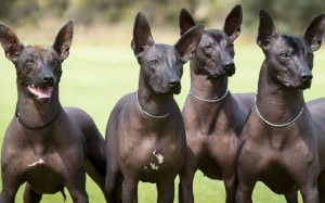 Xoloitzcuintli personality and temperament