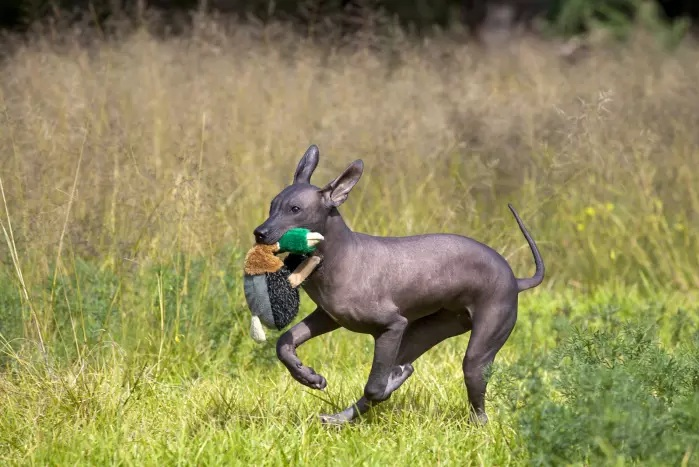 Xoloitzcuintli playing with a toy