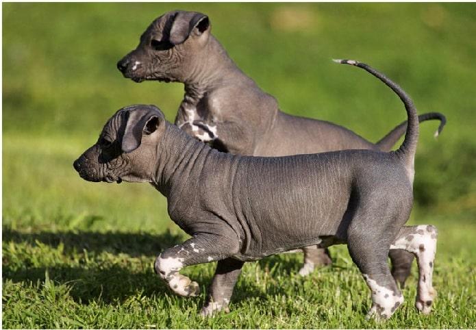 Xoloitzcuintli puppy cost
