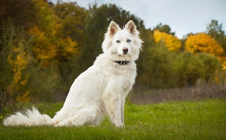 Yakutian Laika personality and temperament