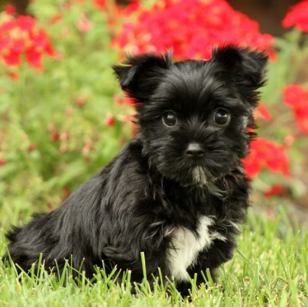 Yorkie Bichon Puppy cost