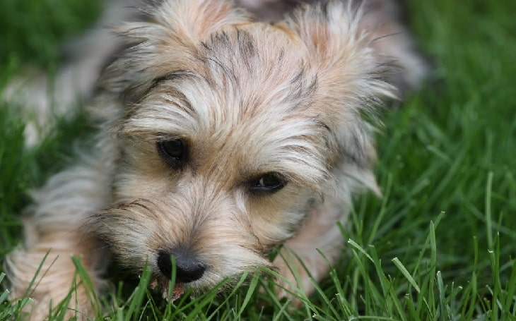 Yorkie Bichon history and behavior