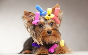 Yorkie Pin temperament and personality