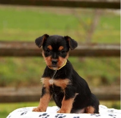 Yorkie Russell Puppy cost