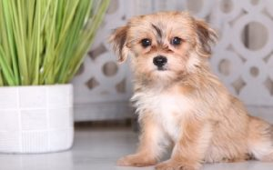 Yorkie ton temperament and personality