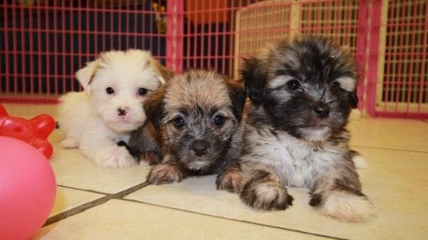 Yorkie-ton puppy cost