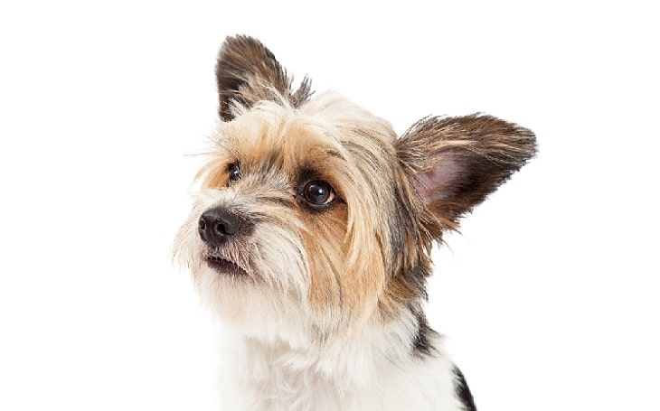 Yorkie-ton behavior and history