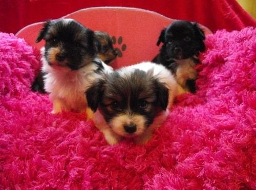 Yorkillon Puppy cost