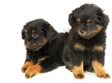 Yorkipoo Puppy cost