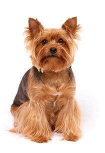 Yorkshire Terrier cross bred with Pomeranian