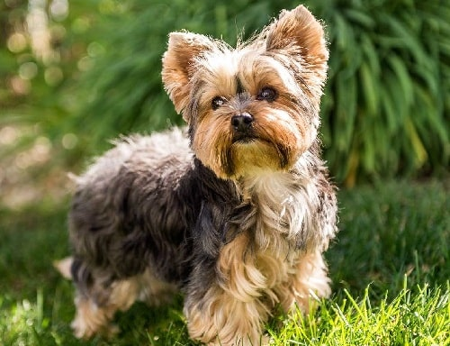 Yorkshire Terrier cross bred with Jack Russell