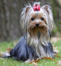Yorkshire Terrier crossed bred with Poodle