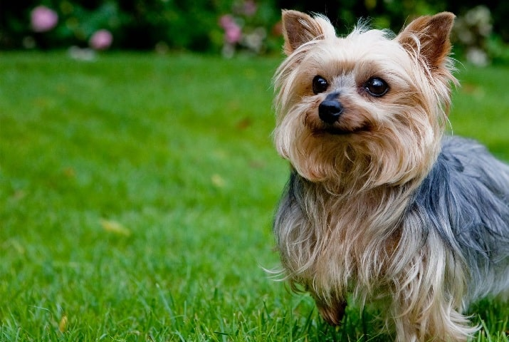 Yorkshire Terrier crossed bred with Coton de Tulear