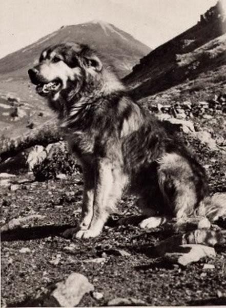ancient Yugoslavian Shepherd