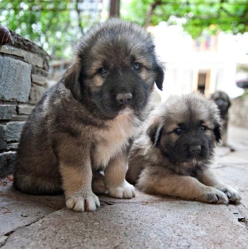Yugoslavian Shepherd puppy cost