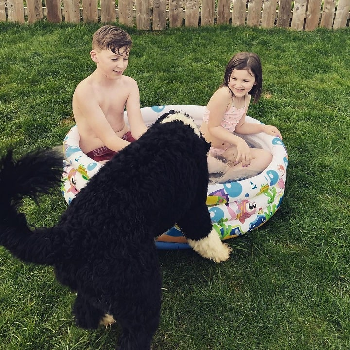 Portuguese Water dog is child friendly