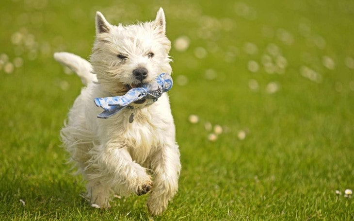 West Highlands White Terrier Is PLayful.