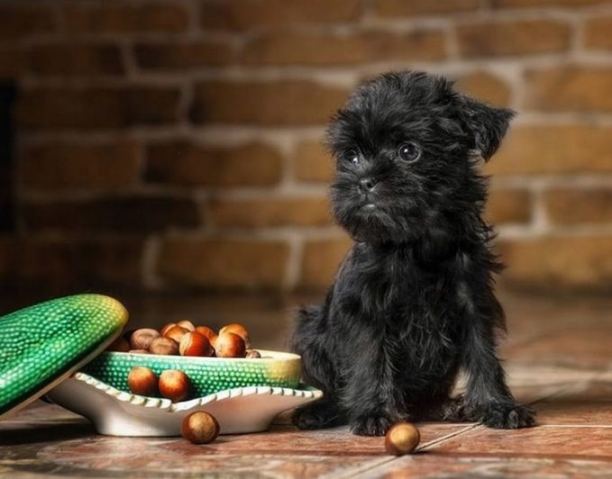 Affenpinscher Terrier puppy with food