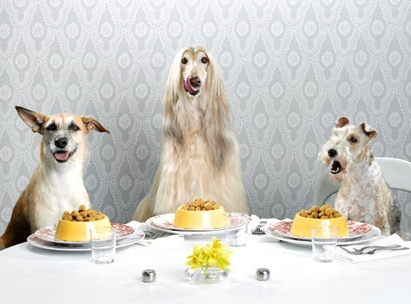 Afghan Hound enjoying meal with its friends