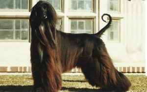 Afghan Hound feeding methods