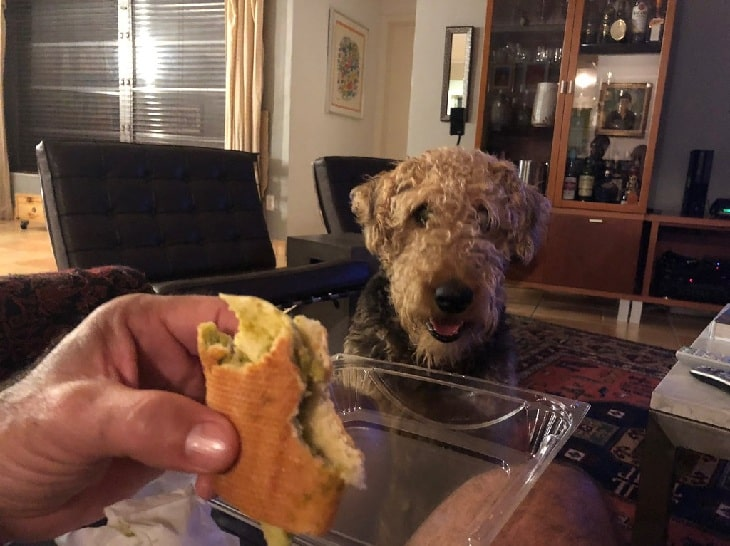 Airedale Terrier looking at human food