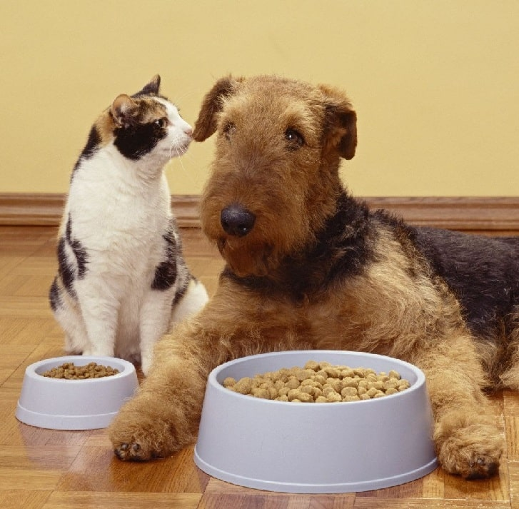 Airedale Terrier eating food with a cat