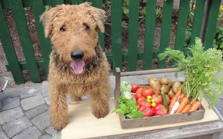 Airedale Terrier with vegetables