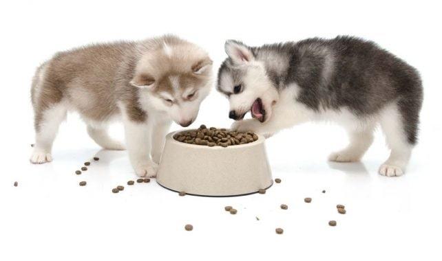 Alaskan Malamute puppies eating