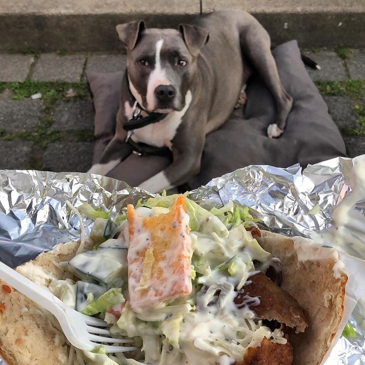 Amerian Staffordshire Terrier looking at food