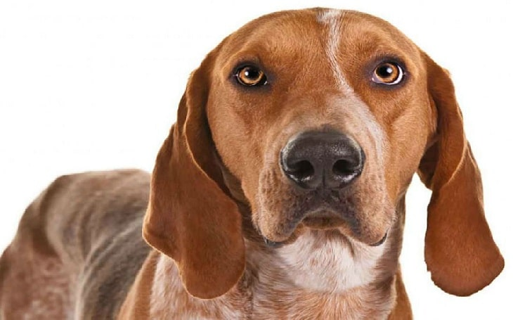 American English Coonhound eating habits and feeding methods