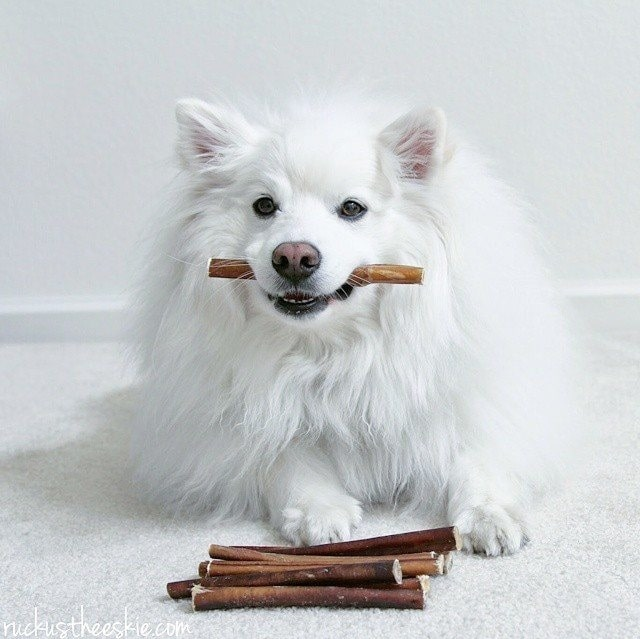American Eskimo holding its treat