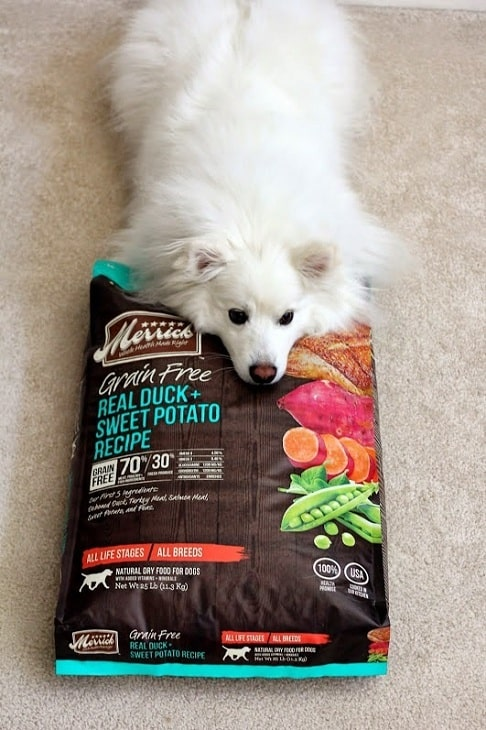 American Eskimo laying its head on its food