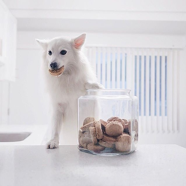 American Eskimo eating cookie