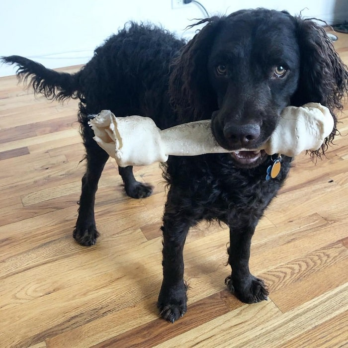 American Water Spaniel with big bone