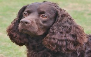 American Water Spaniel Feeding Methods